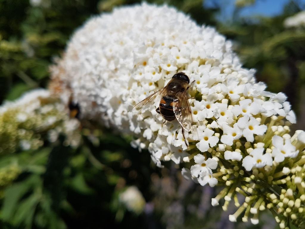 Hummel auf weißer Blüte