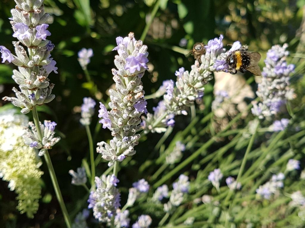 Biene und Hummel an Lavendel